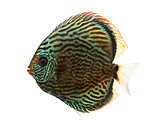 Side view of a Blue snakeskin discus, Symphysodon aequifasciatus