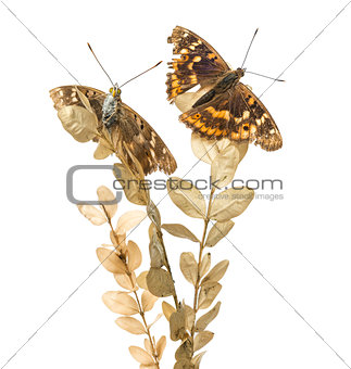 Old Lesser Purple Emperor butterflies on a plant, Apatura ilia,