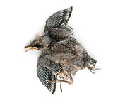 Dead baby Swallow in state of decomposition, Hirundinidae, isola