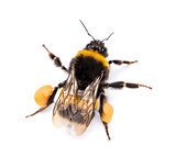 View from up high of a Buff-tailed bumblebee, Bombus terrestris,