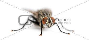 Flesh fly, Sarcophagidae, isolated on white