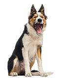 Border collie sitting, yawning, isolated on white