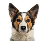 Close-up of a Border Collie, looking at the camera, isolated on