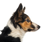 Close-up of a Border collie profile, isolated on white