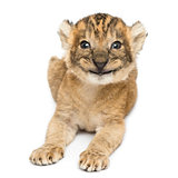 Front view of a happy Lion cub lying, 16 days old, isolated on w