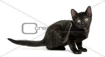 Black kitten scratching, looking at the camera, 2 months old, is