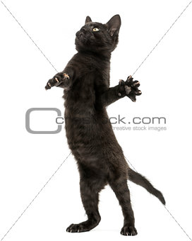 Black kitten standing on hind legs, playing, looking up, 2 month