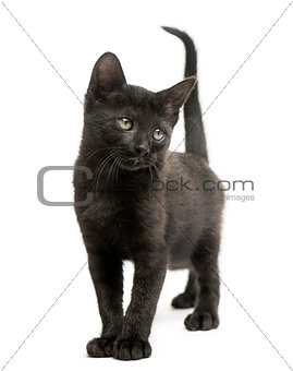 Black kitten standing, looking away, 2 months old, isolated on w