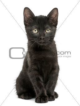 Black kitten sitting, looking at the camera, 2 months old, isola