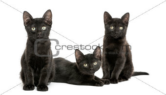Three Black kittens looking at the camera, 2 months old, isolate