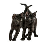 Two Black kittens standing, looking down, 2 months old, isolated