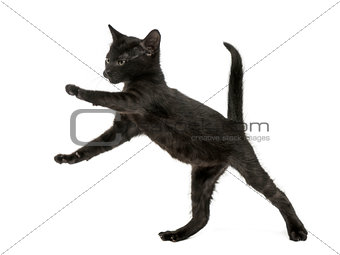 Black kitten standing on hind legs, playing, 2 months old, isola