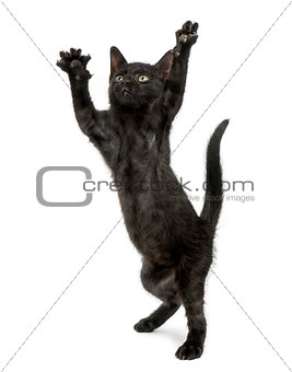 Black kitten standing on hind legs, reaching, pawing up, 2 month