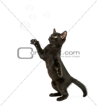 Black kitten standing on hind legs, reaching at soap bubbles, 2