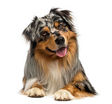 Australian shepherd blue merle, lying, panting, 4 years old, iso