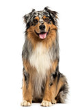 Front view of an Australian shepherd blue merle, sitting, pantin