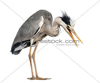 Angry Grey Heron, screaming, looking down, Ardea Cinerea, 5 year