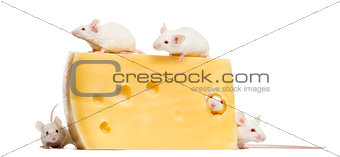 Group of albino white mice around a big piece of cheese, Mus mus