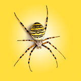 View from up high of a Wasp spider, Argiope bruennichi, on a yel