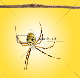Back view of a wasp spider hanging from a wooden branch, Argiope