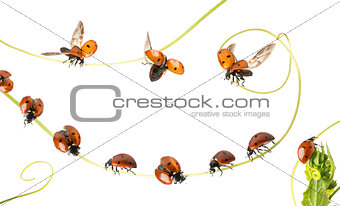 Group of Ladybirds landed on a plant and flying, isolated on whi