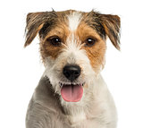 Close-up of a Parson russel terrier panting, looking at the came