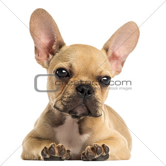 French Bulldog puppy lying down, looking at the camera, isolated