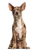 Chihuahua Pinscher sitting, facing, isolated on white