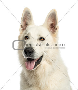 Close up of a White Swiss Shepherd Dog panting, isolated on whit