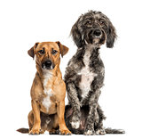 Brittany Briard crossbreed dog and jack russel sitting together,
