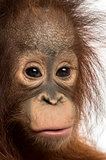 Close-up of a young Bornean orangutan, looking at the camera, Po