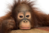 Close-up of a young Bornean orangutan looking tired, looking at