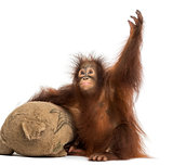 Young Bornean orangutan with its burlap stuffed toy, reaching up