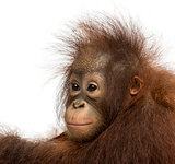 Close-up of a young Bornean orangutan, looking away, Pongo pygma