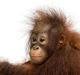 Close-up of a young Bornean orangutan, looking away, Pongo pygma