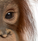 Close-up of a young Bornean orangutan's eye, Pongo pygmaeus, 18