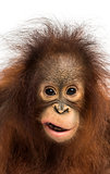 Close-up of a young Bornean orangutan making a face, looking at