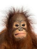 Close-up of a young Bornean orangutan making a face, Pongo pygma