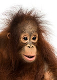 Close-up of a young Bornean orangutan, Pongo pygmaeus, 18 months