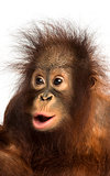 Close-up of a young Bornean orangutan looking amazed, Pongo pygm