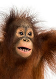 Close-up of a young Bornean orangutan, mouth opened, Pongo pygma