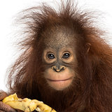 Close-up of a Young Bornean orangutan eating a banana, looking a
