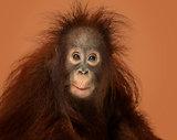 Young Bornean orangutan looking impressed, Pongo pygmaeus, 18 mo