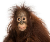 Young Bornean orangutan looking at the camera, Pongo pygmaeus, 1