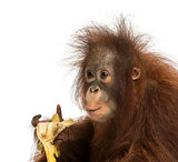Close-up of a young Bornean orangutan eating a banana, Pongo pyg