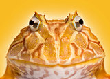 Close-up of an Argentine Horned Frog facing, Ceratophrys ornata,