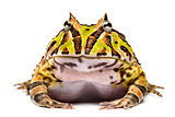 Front view of an Argentine Horned Frog, Ceratophrys ornata, isol