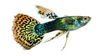 Side view of a Guppy swimming, Poecilia reticulata, isolated on