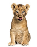 Lion cub sitting, licking, 7 weeks old, isolated on white