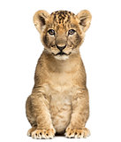 Lion cub sitting, looking at the camera, 7 weeks old, isolated o